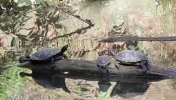 Turtles in Central Park Zoo