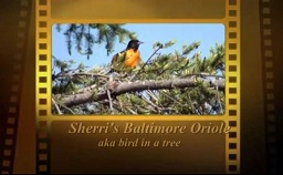 Sherri's Oriole Video